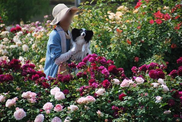 薔薇の花壇でルビーを抱っこ