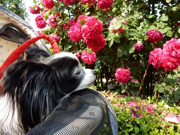 赤い薔薇と