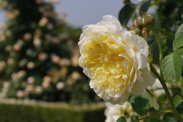 大輪のクリーム色の薔薇