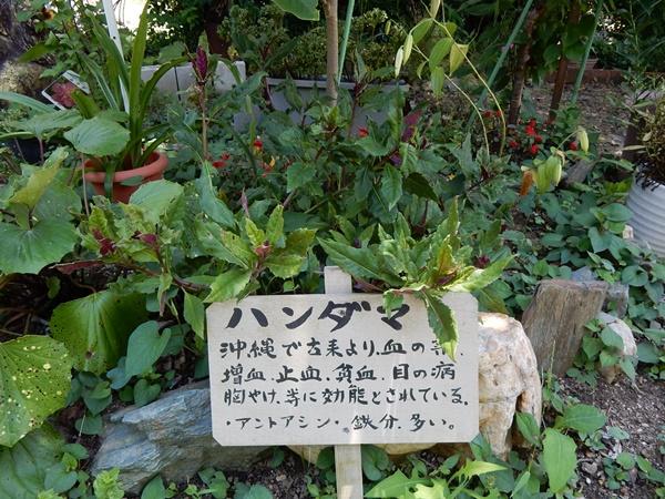 ハンダマ(草)