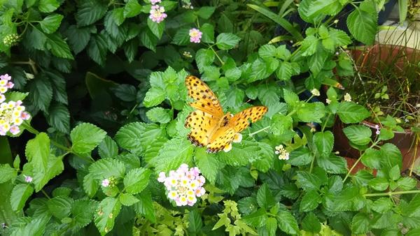 ランタナに蝶