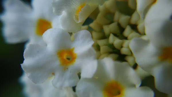 マクロの花2