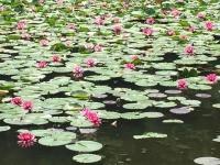 岩槻市 蓮の花