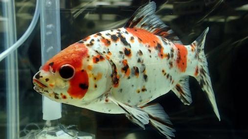 2016-04-10 第34回日本観賞魚フェア (9)