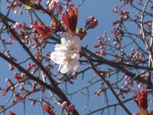 CIMG1824開花