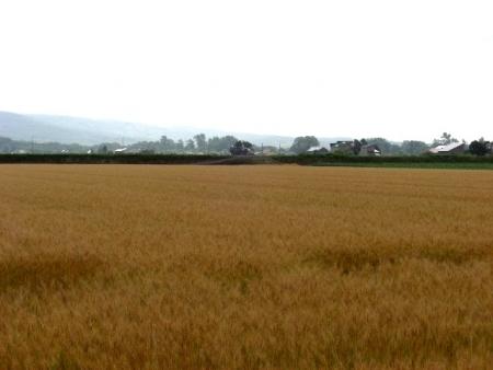 CIMG2202小麦畑