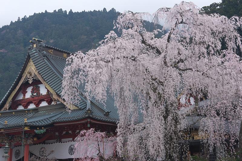 身延山久遠寺の桜 壱