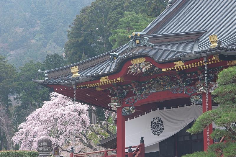 身延山久遠寺の桜 弐