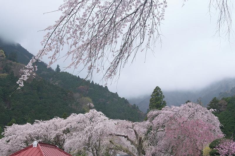 身延山久遠寺の桜 五