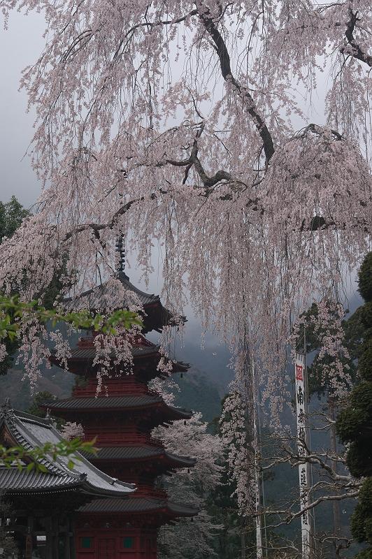 身延山久遠寺の桜 六