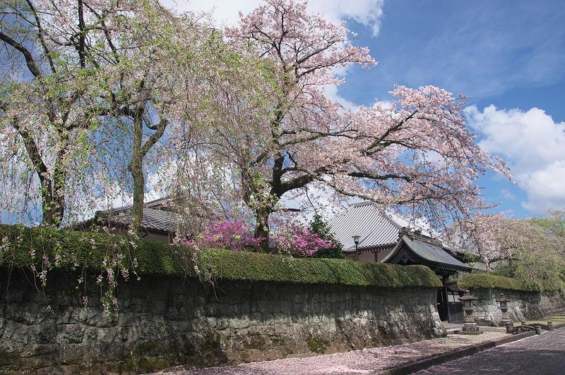 さくら咲く大石寺