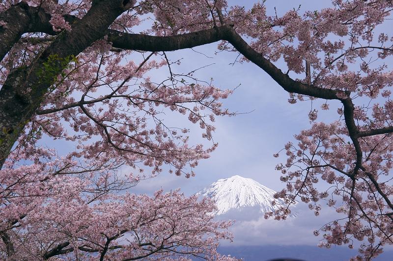 さくら咲く大石寺 弐