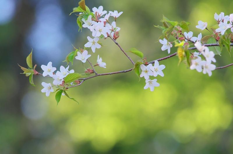 新緑と大山桜