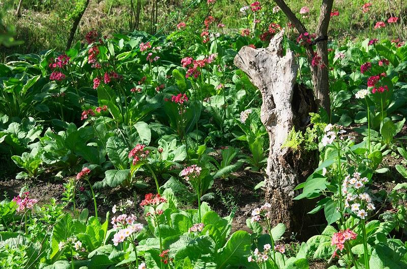 クリンソウが咲く公園