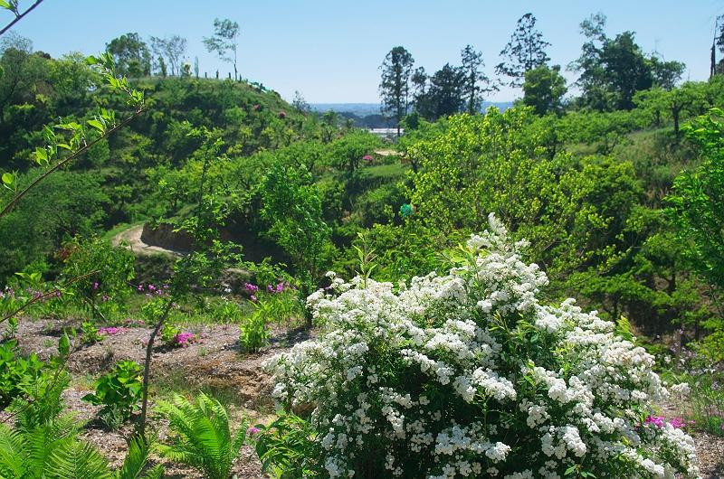 クリンソウが咲く公園 2