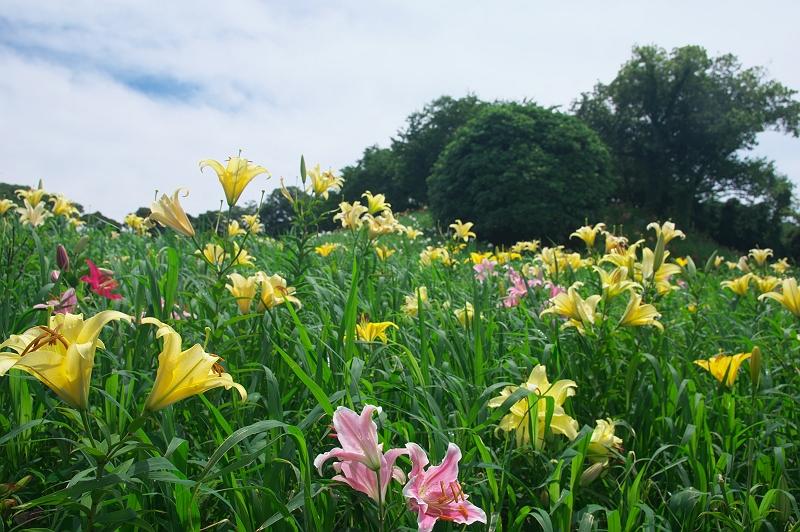 草原のユリ