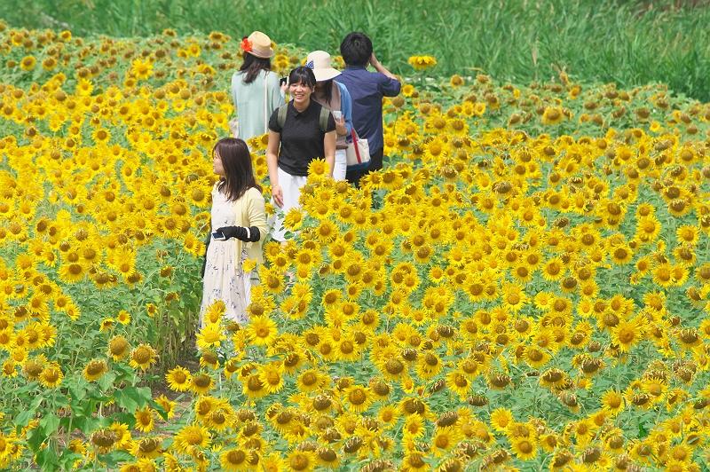 ひまわりが咲く夏