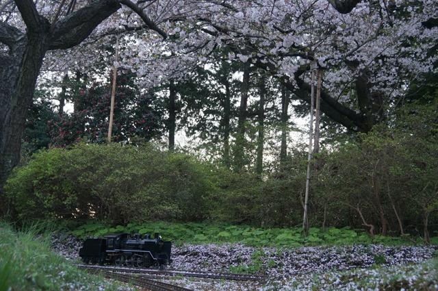 桜の花と小さな汽車