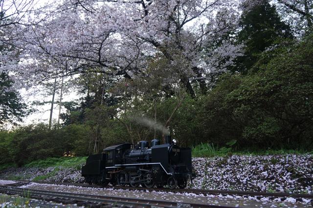 小さなC56と桜