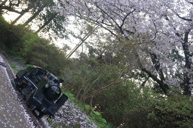 C56 129と桜の花