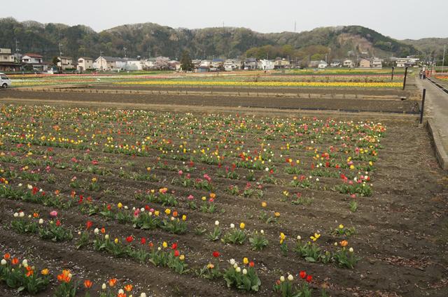 羽村のチューリップ畑