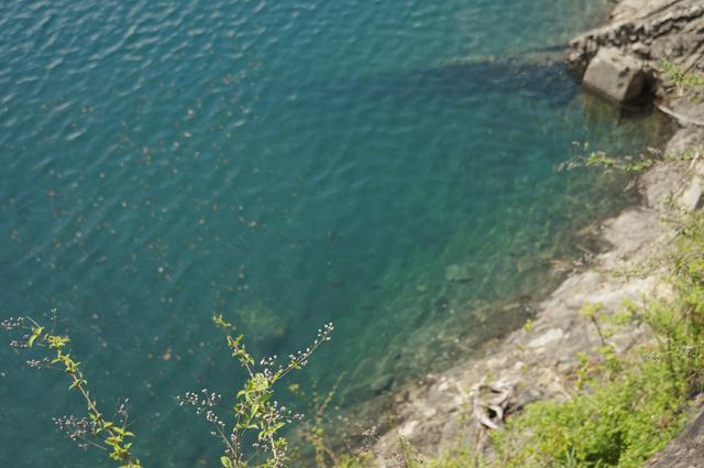 奥多摩湖の水、こいやますが泳いでいます
