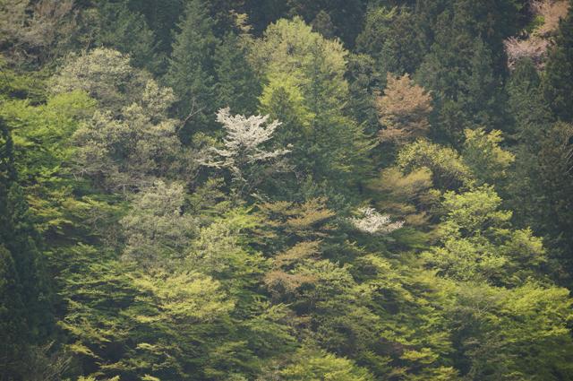 木々の中に桜