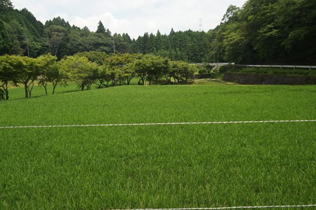 山のおじいちゃんの近くの田んぼ