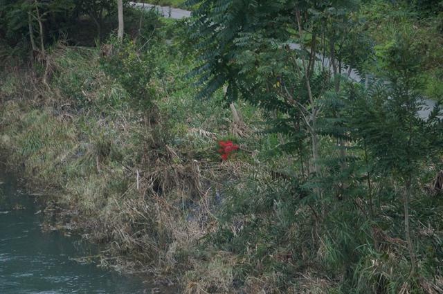 水面間際に咲く彼岸花