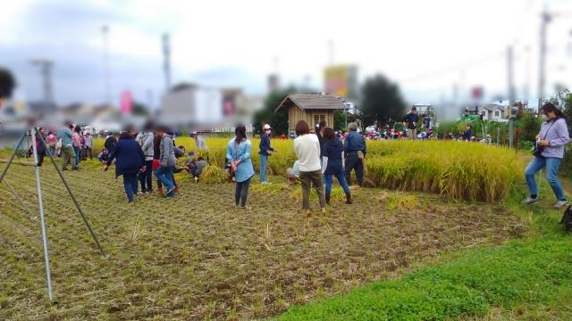 小学生の稲刈