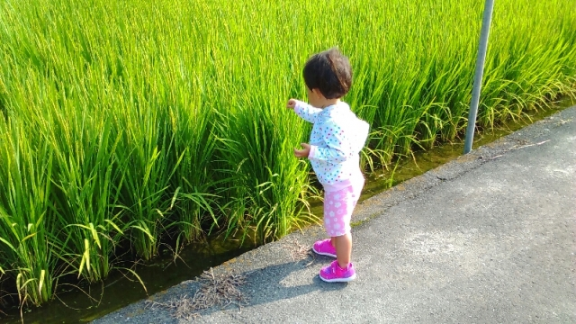 出穂した稲に触る子供