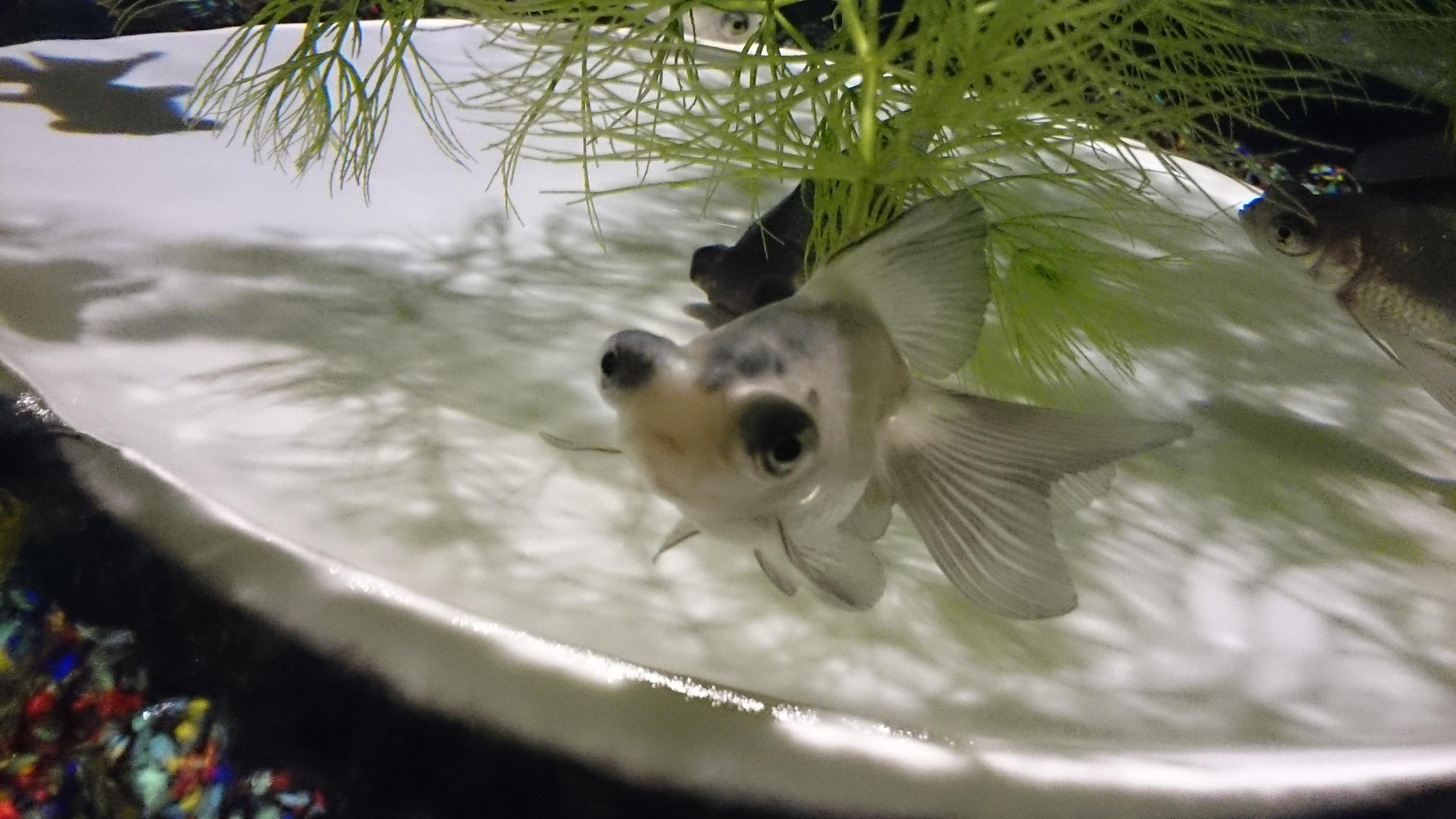 パンダ蝶尾