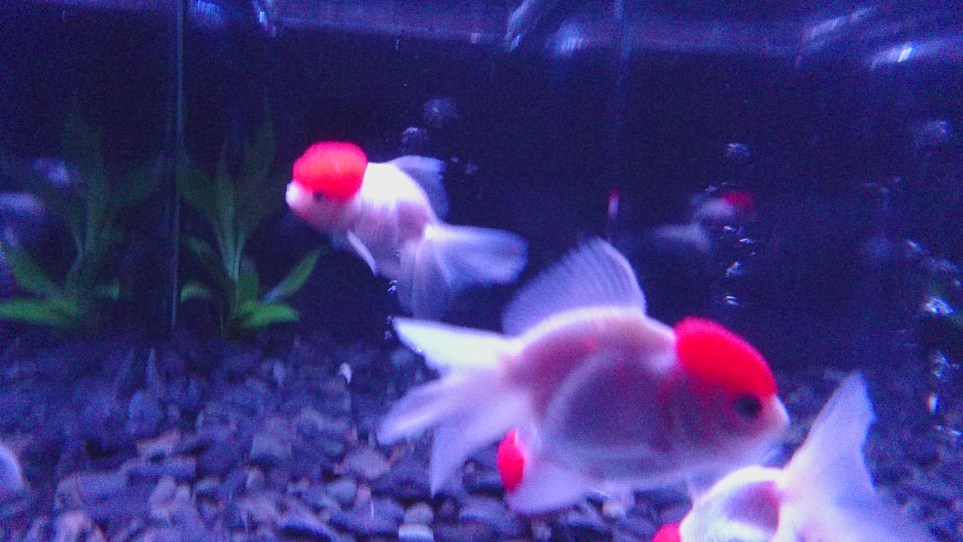 水槽・青(金魚・白と赤の斑点)