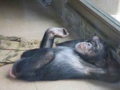 チンパンジー20161017