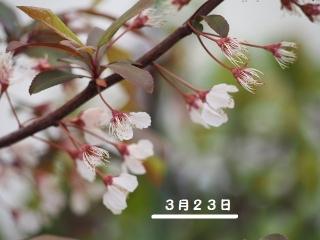 0322puramupinkuhana1.jpg