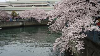 0403oookasakur7.jpg