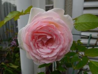 0514pinkubaradai1.jpg