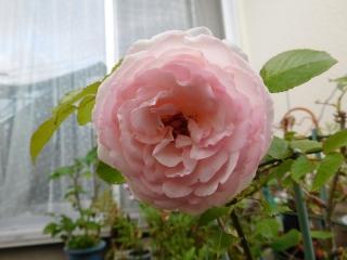 0515pinkubaradai2.jpg