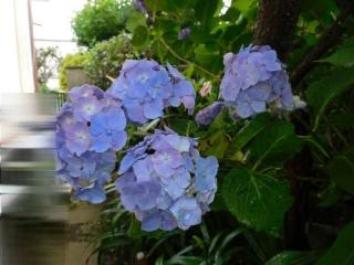 0606ajisaiao1.jpg