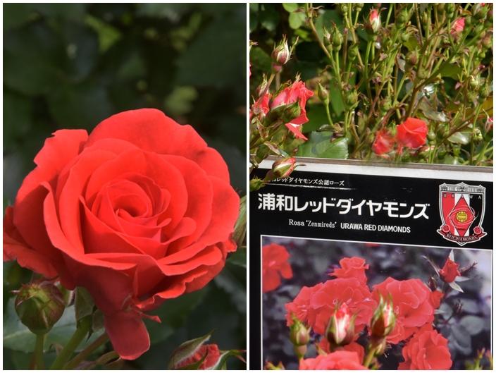 704浦和レッドダイヤモンズ公式の薔薇