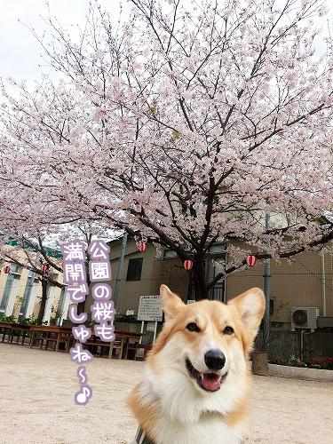 公園の桜も満開☆