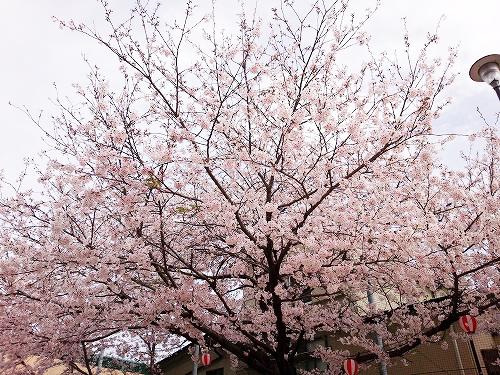 公園の桜~