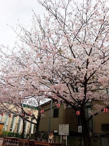 結構立派な桜なのです