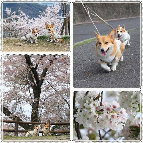 黄金山の桜☆1