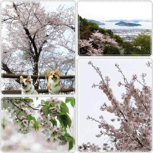 黄金山の桜☆