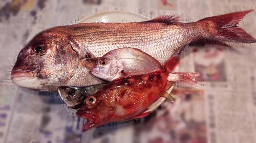 他のお魚も