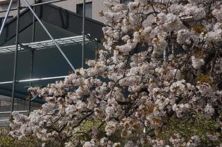 三本松の枝垂桜1