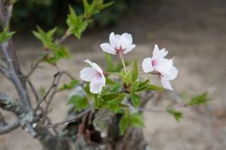 三本松の枝垂桜13