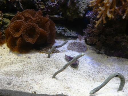 沼津港深海水族館:チンアナゴ
