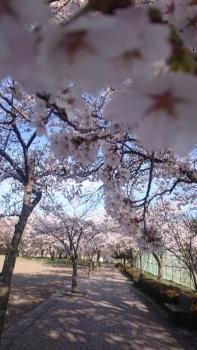 20160419花見雪窓公園